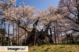 山梨県北斗市武川町 実相寺の境内にある山高神代桜