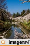 信州 長野県上田市 上田城跡のお堀の桜