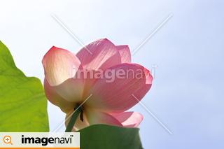山梨県・躑躅ヶ崎館跡の蓮の花