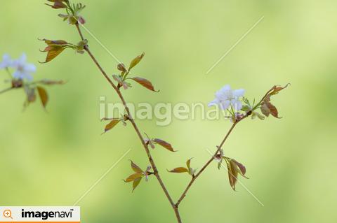 エゾヤマザクラの枝
