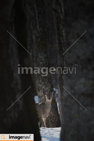 遠くの木の間からこちらを見るエゾシカ