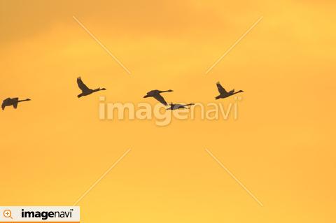 北へ向かう白鳥の群れ